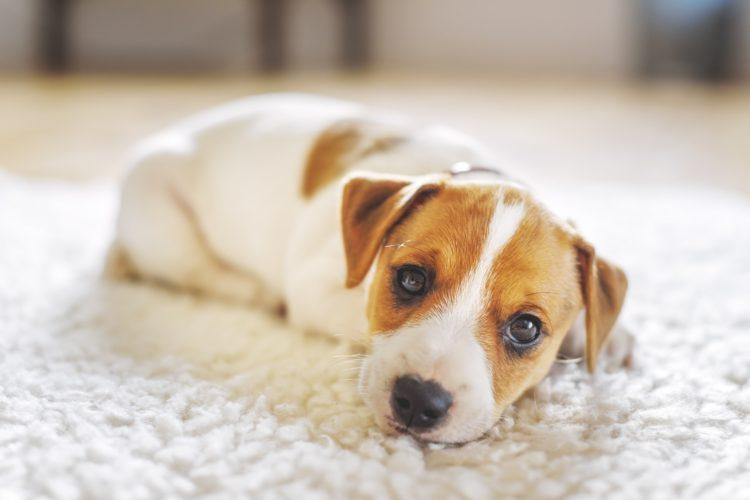 La race canine et la protection d'une propriété